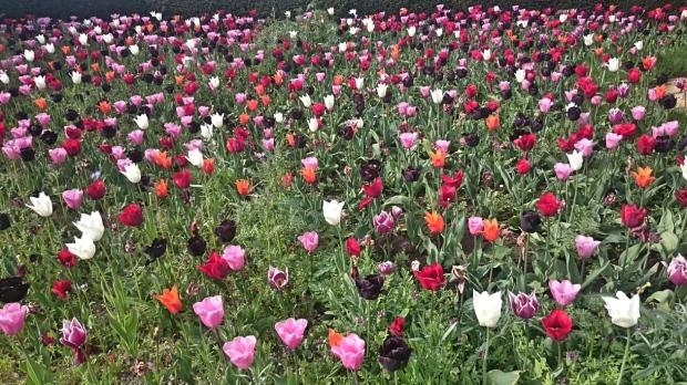 Tulips Arundel castle