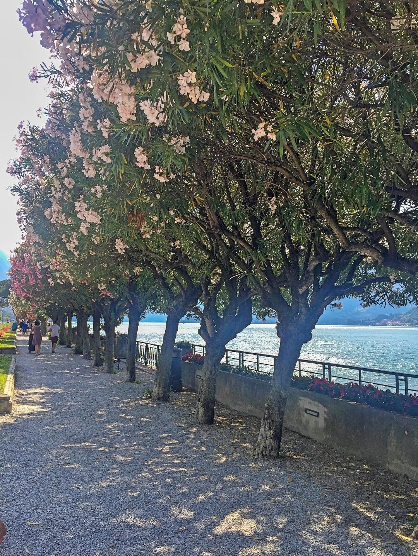 Oleander trees Bellagio lake Como